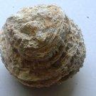 miocene coral