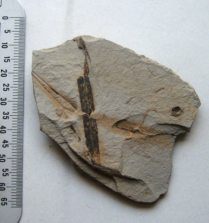 plant matrix from the paleozoi