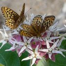 30 Butterfly Showy Milkweed Seeds