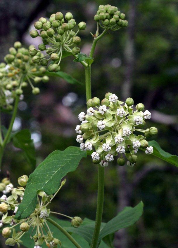 12 Woodland Poke Milkweed White Asclepias Seeds