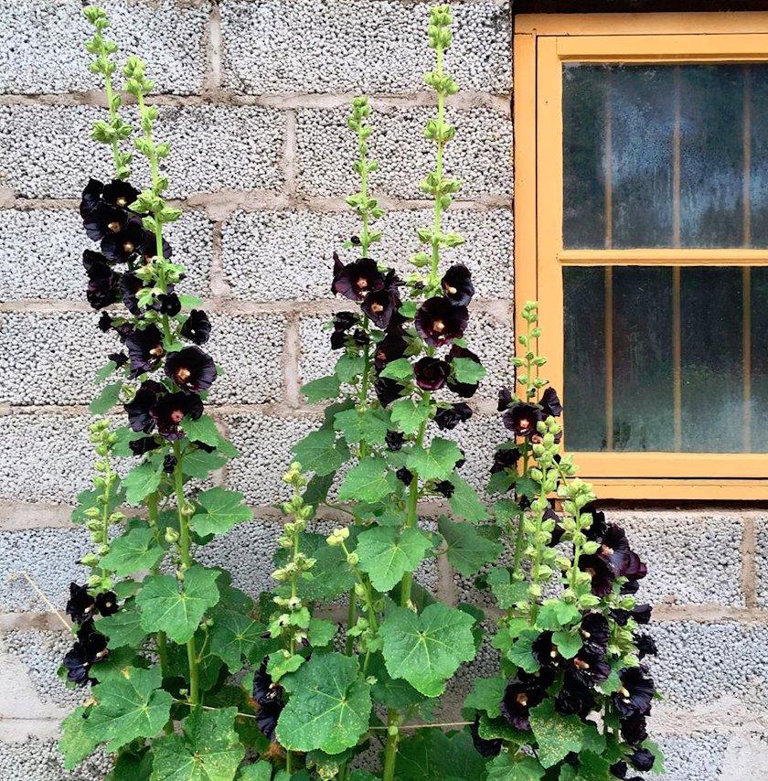 25 Black Hollyhock Alcea Nigra Seeds