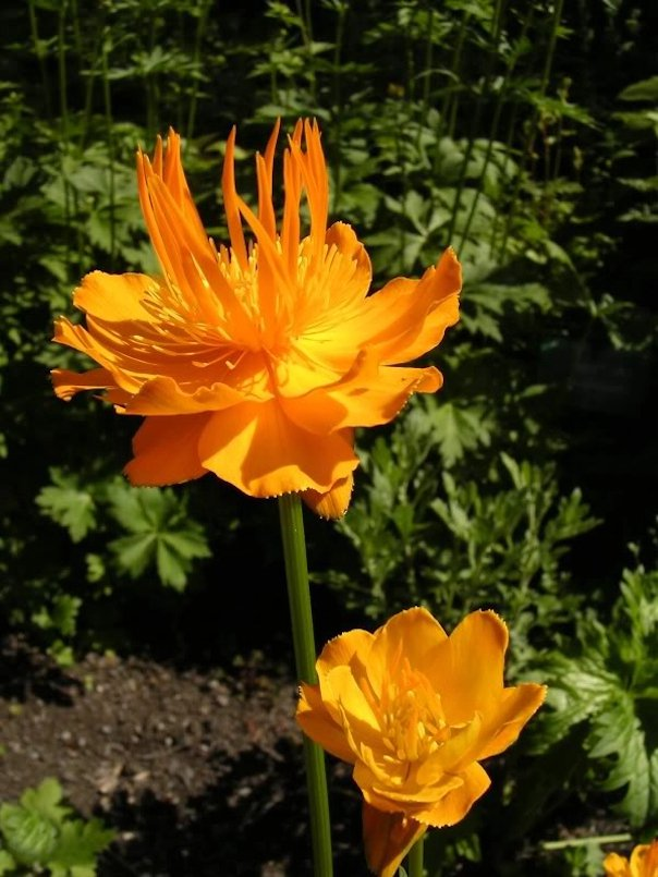 25 Golden Queen Hardy Troll Flower Trollius Seeds
