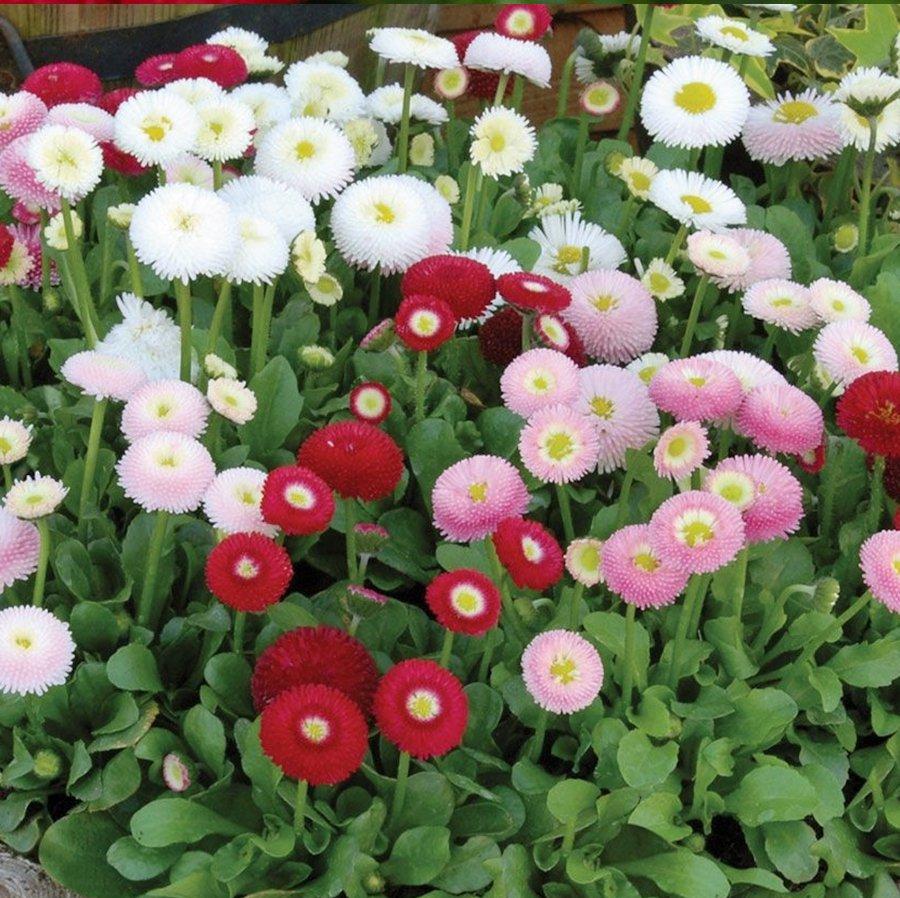 100 Double English Daisy Mix Bellis Seeds