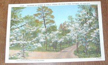 Vintage Dogwood in Bloom Blue Ridge Parkway Virginia Postcard