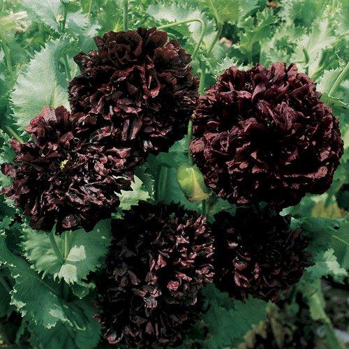 Black Peony Poppy seeds - pkg of 100 seeds