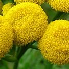 Tansy seeds - pkg of 50 seeds