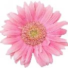 Pink Daisy Return Address Labels