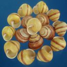 B577 Craft shells - Helicostyla annulata, 1 oz.