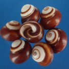 B576 Craft shells - Calocochlia roissyana brown, 6 pcs.