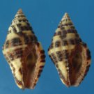90046 Seashell  - Engina histrio, 2 pcs., 13.8 - 15.4 mm