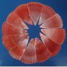 B682 Cut shells- Mimachlamys sanguinea-03, 12 pcs.