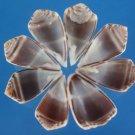 B554 Petal cut shells - Conus aristophanes-01,  1 oz.