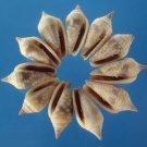 B594 Craftshells - Imbricaria conularis- gray-03, 1 oz.