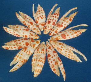 B529 Cut shells - Mitra mitra-01, 12 pcs.