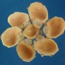 B562 Cut shells - Thais alouina-03, 1 oz