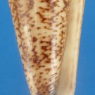 B766-28319 Seashell Conus thalassiarchus