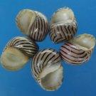 B538 Sailors Valentine Craft shells - Nerita turrita, 1 oz.