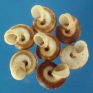 B576 Craft shells - Cyclophuorus linguaferus, 20 pcs