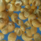 B502 Craft shells Sailor Valentine- Yellow Littorina, 1 oz