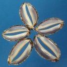 B551 Cut shells- Cypraea eglantina-03,  1 oz.