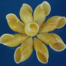 B576 Craft shells - Yellow Amphidromus snails, 6 pcs