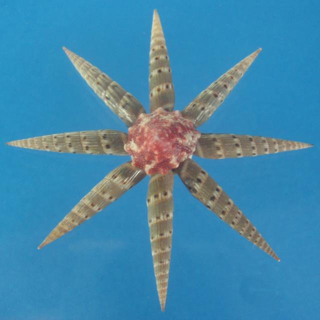 B535 Tiny shells- Hastula strigilata, 12 pcs