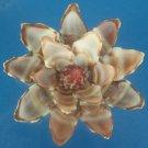 B528 Cut shells- Vexillum plicarium-02, 1 oz.