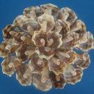 B581 Cut shells - Semiricinula turbinoides-02, 1 oz