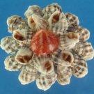 B516 Cut shells - Nassarius subspinosus, 1 oz