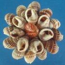 B518 Craft shells - Nassarius livescens, 1 oz,