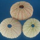 B662 Sea urchin test - Echinometra mathaei, 6 pcs