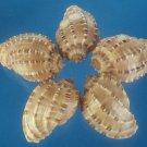 B587 Craft shells - Harpa articularis shells, 6 pcs
