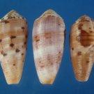 B766-29668 Seashell Conus circumcisus