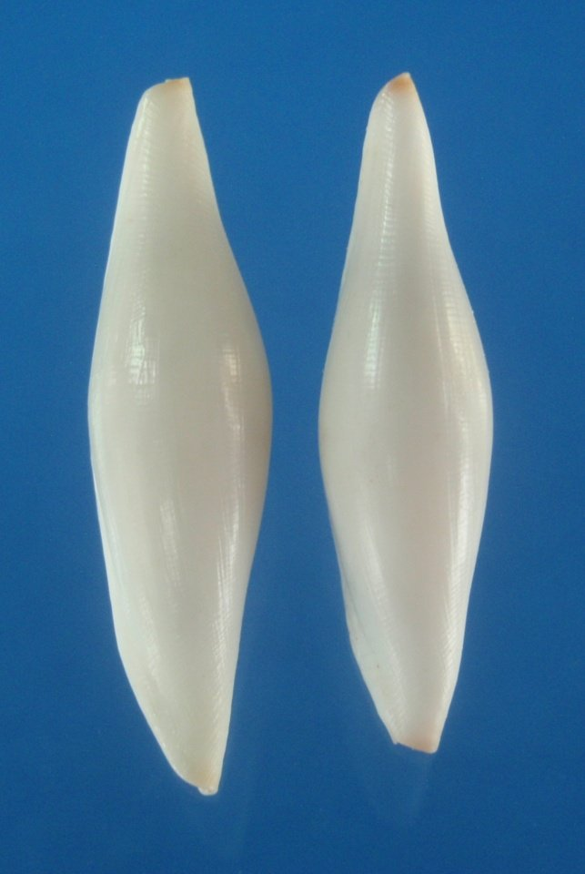 B787-28074 Seashell Pellasimnia improcera