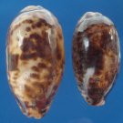 B787-28033 Seashell Cypraea testudinaria