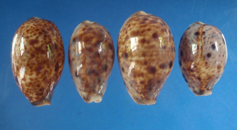 27830 Seashell Cypraea lynx, 4 pcs. 31 - 38.5 mm