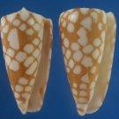 B766-29617 Seashell Conus cordigera