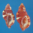B766-29307 Seashell Cymatium rubeculum