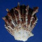 30509 Seashell Spondylus sinensis, 56 mm