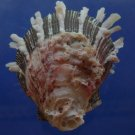 88118 Seashell Spondylus sinensis, 64 mm