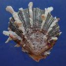 30604 Seashell Spondylus sinensis, 56 mm