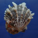 30605 Seashell Spondylus sinensis, 47 mm