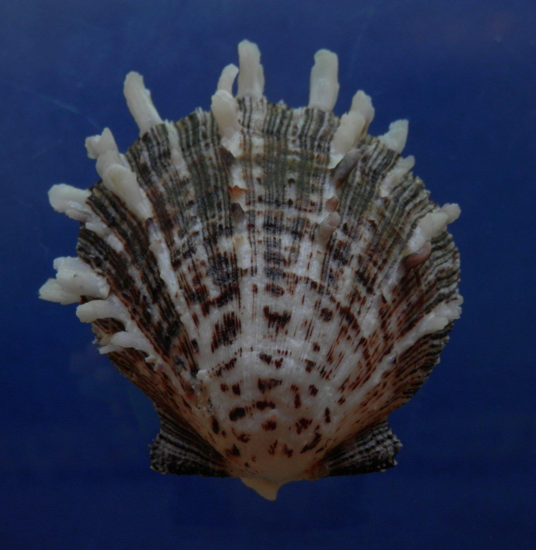 B769-30606 Seashell Spondylus sinensis