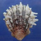 30607 Seashell Spondylus sinensis, 64 mm