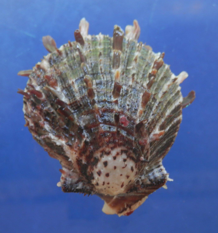 B769-30610 Seashell Spondylus sinensis