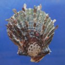 30610 Seashell Spondylus sinensis, 58 mm