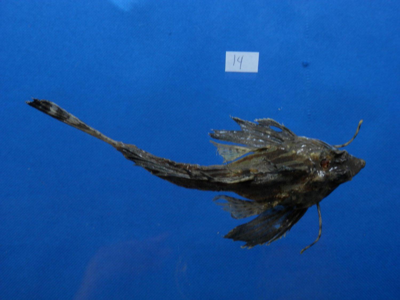 B771-31043 Fingered dragonet - Dactylopus dactylopus