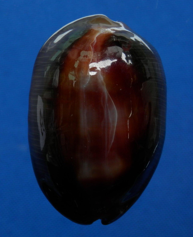 31949 Seashell Cypraea ventriculus,  50.9 mm