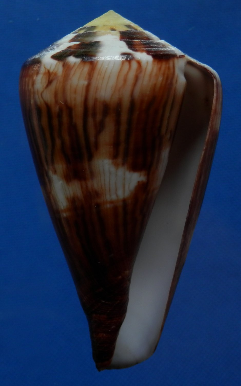 B777-31998 Seashell Conus vexillum, 64 mm