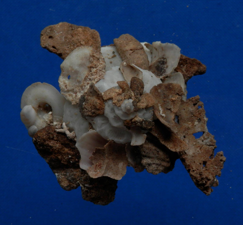 B782-32828 Seashell Xenophora pallidula